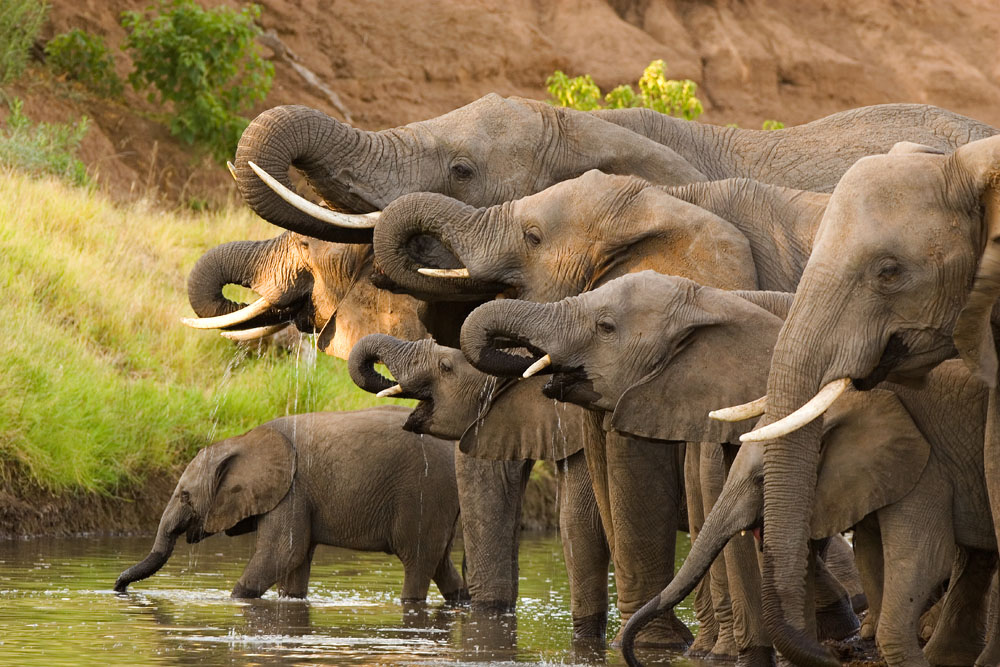 Elephants drinking from Okavango, Botswana