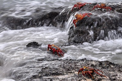Red crabs in the Galapagos