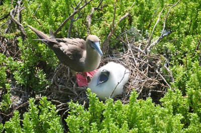 Red footed booby and baby, Galapagos