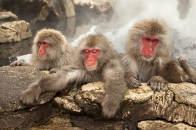 Snow Monkeys Macaques, Japan