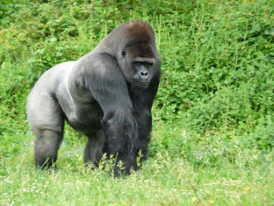 Male silver-back gorilla_30602566