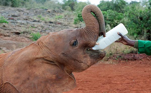 Baby Elephant Fed at David Sheldrick Wildlife Sanctuary, Nairobi, Kenya