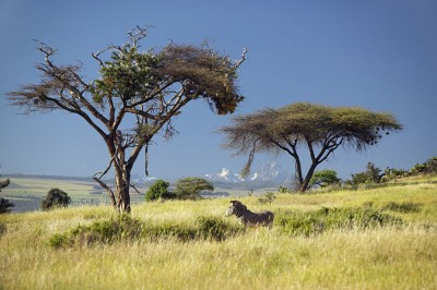 Endangered Grevy's Zebra and Acacia Tree in foreground in front of Mount Kenya in Kenya