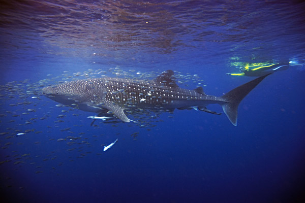 Swimming with a whale shark at Ningaloo Reef, Australia