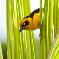 A weaver bird