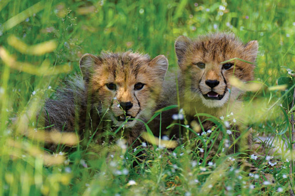 Young cheetah cubs. Photo credit: Russel Friedman