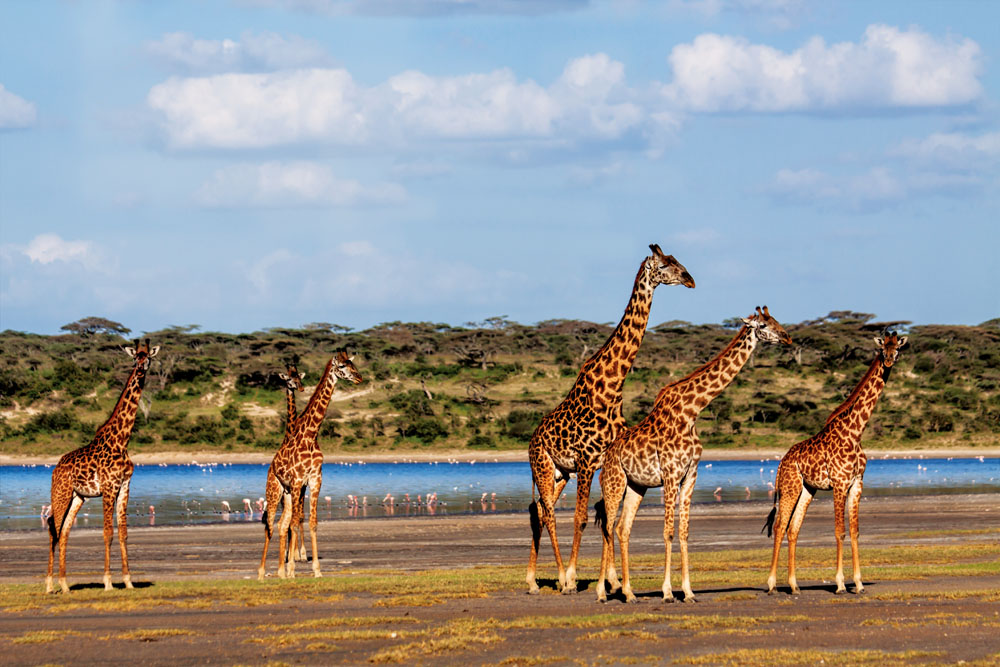 Giraffe in the Serengeti, Tanzania