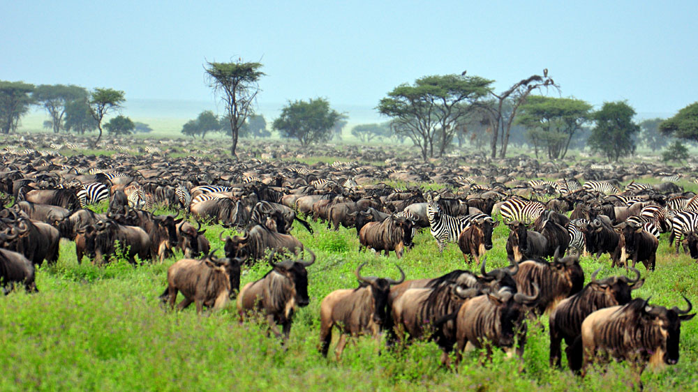 Great Migration at Serengeti National Park, Tanzania