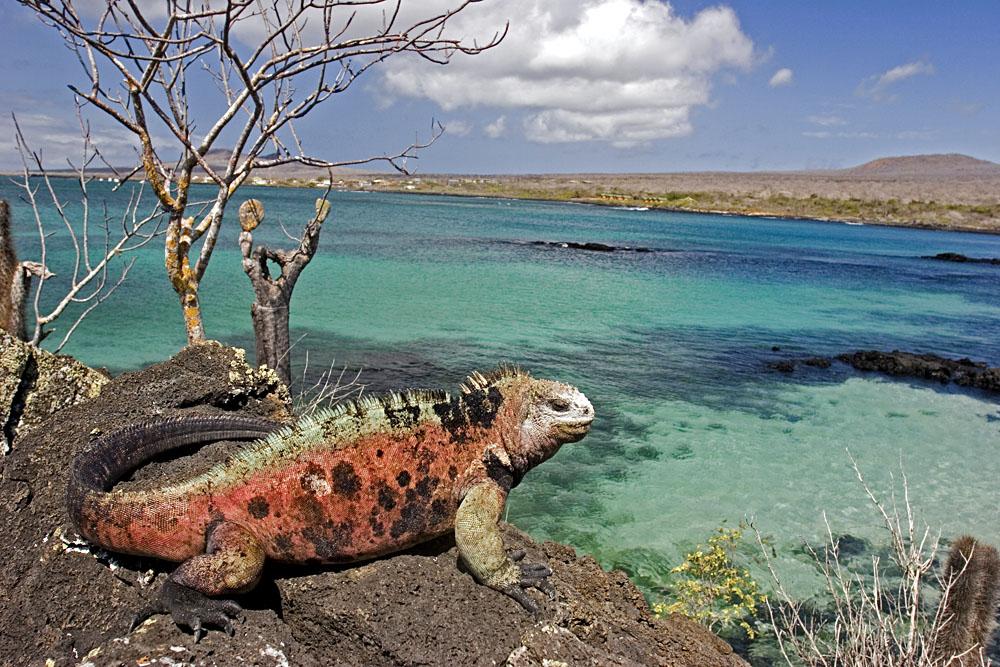 Iguana in Floriana Island, Galapagos Islands, Ecuador