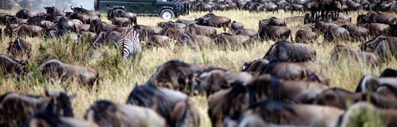 Jeep migration safari in the Masai, Kenya