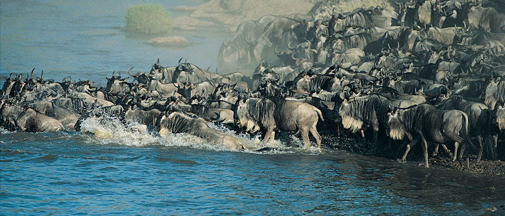 Wildebeest at the banks of  the Mara river