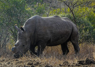 Rhino without its horn