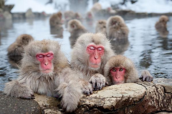 Snow Monkeys Bathe in Hot Springs Nagano, Japan
