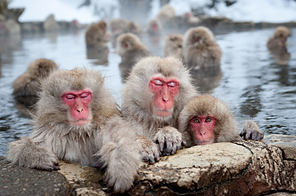 Snow Monkeys Bathe in Hot Springs Nagano, Japan