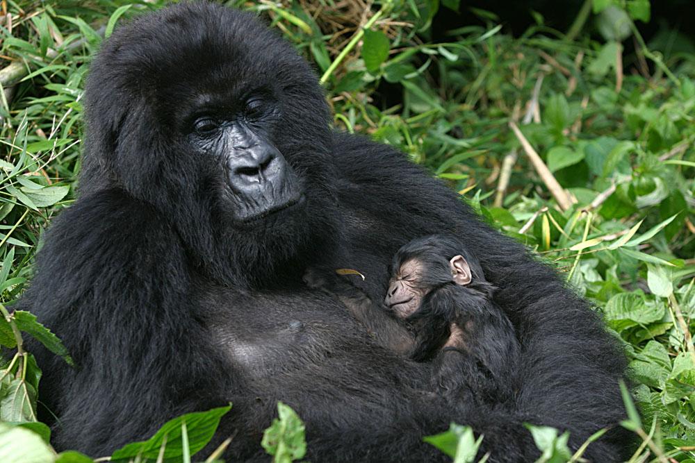 Mountain gorlla with three day old baby, Rwanda