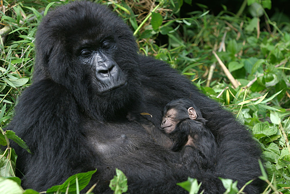 Mountain Gorilla With Three Day Old Baby, Virunga Mountains, Rwanda