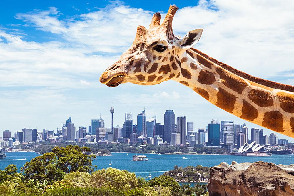 Taronga Zoo Giraffe and Sydney Background, Sydney, Australia_251860000