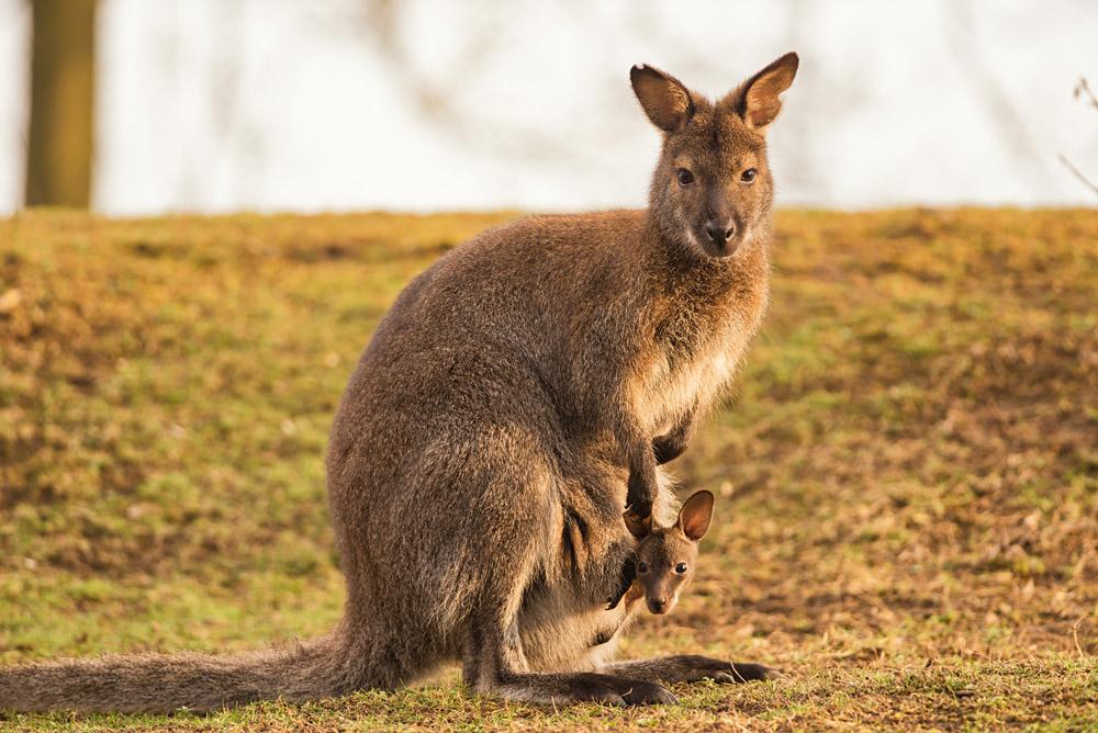 Kangaroo and Baby Joey, Australia_267892781