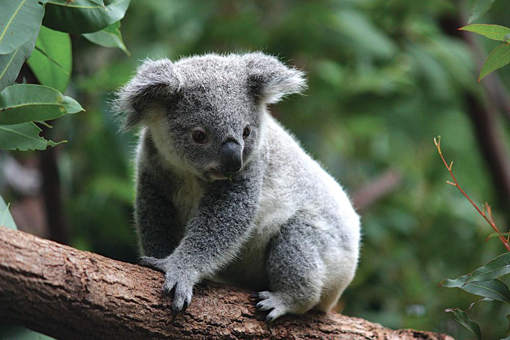 Koala Juvenile on Branch, Australia_113861083
