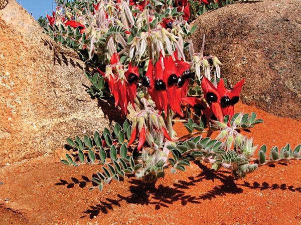 Sturt's Desert Pea - icon of the Australian Outback