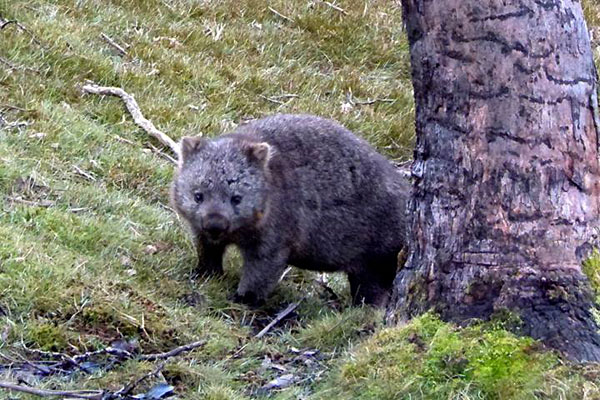 Tasmania, Australia - Wombat at Cradle Mountain