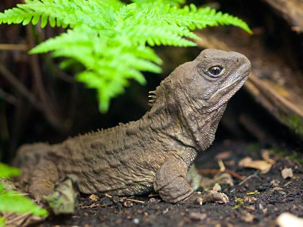 Tuatara in New Zealand_97305281
