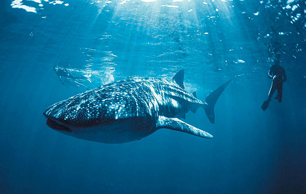 Ningaloo Reef whale shark