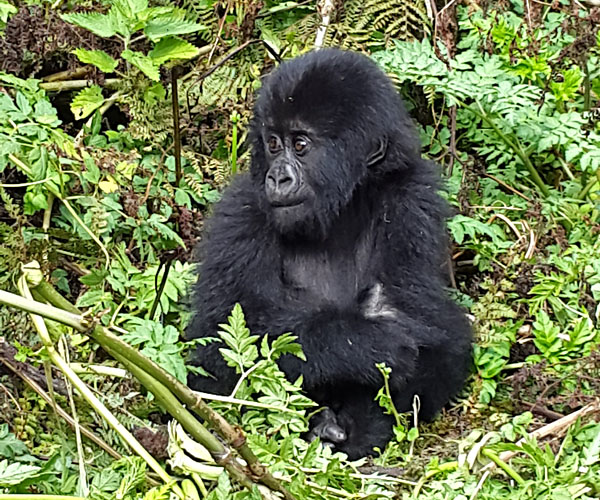 This little baby gorilla of the Sabinyo family (born May 2015) will be named next year!
