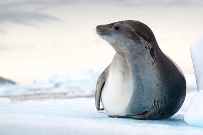 Antarctic Crabeater Seal_101889961