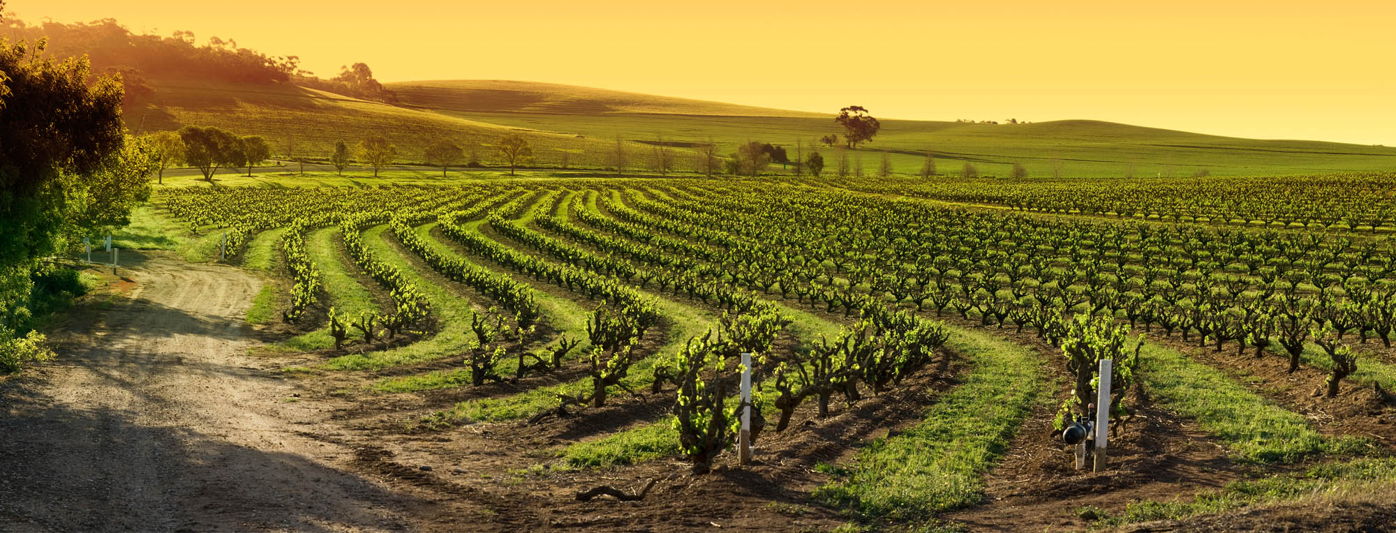 Barossa Valley vineyard at sunset