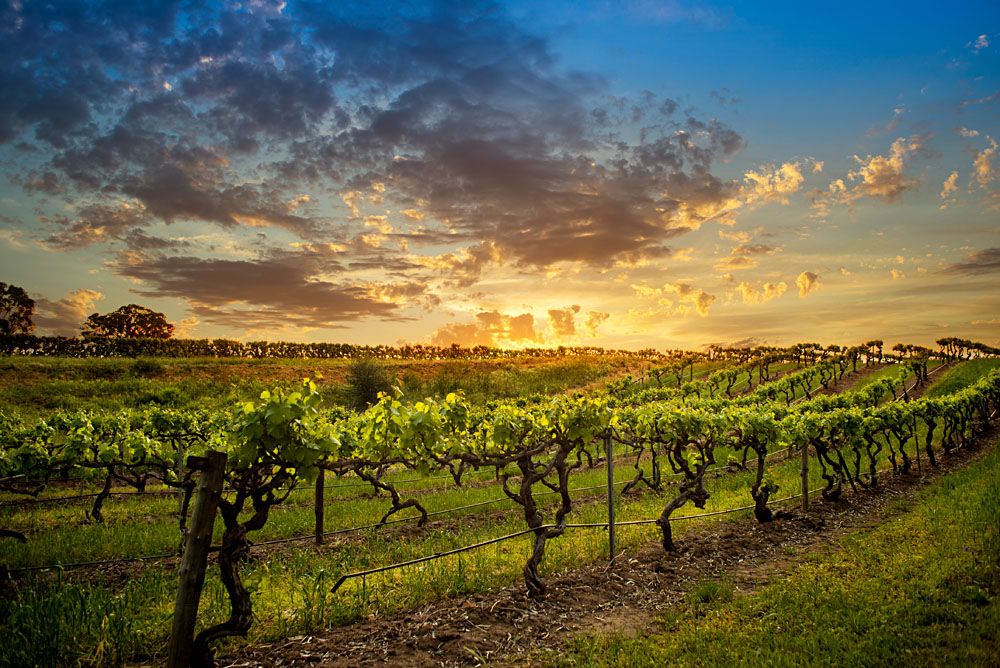 Vineyards in Bethany, Barossa Valley, Australia
