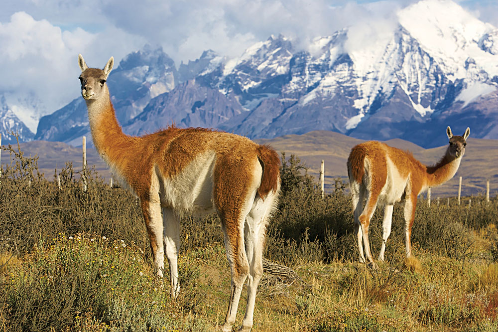 Chilean Guanacos or Patagonian Llamas in the Grass Close to Torres del Paine National Park, Chile