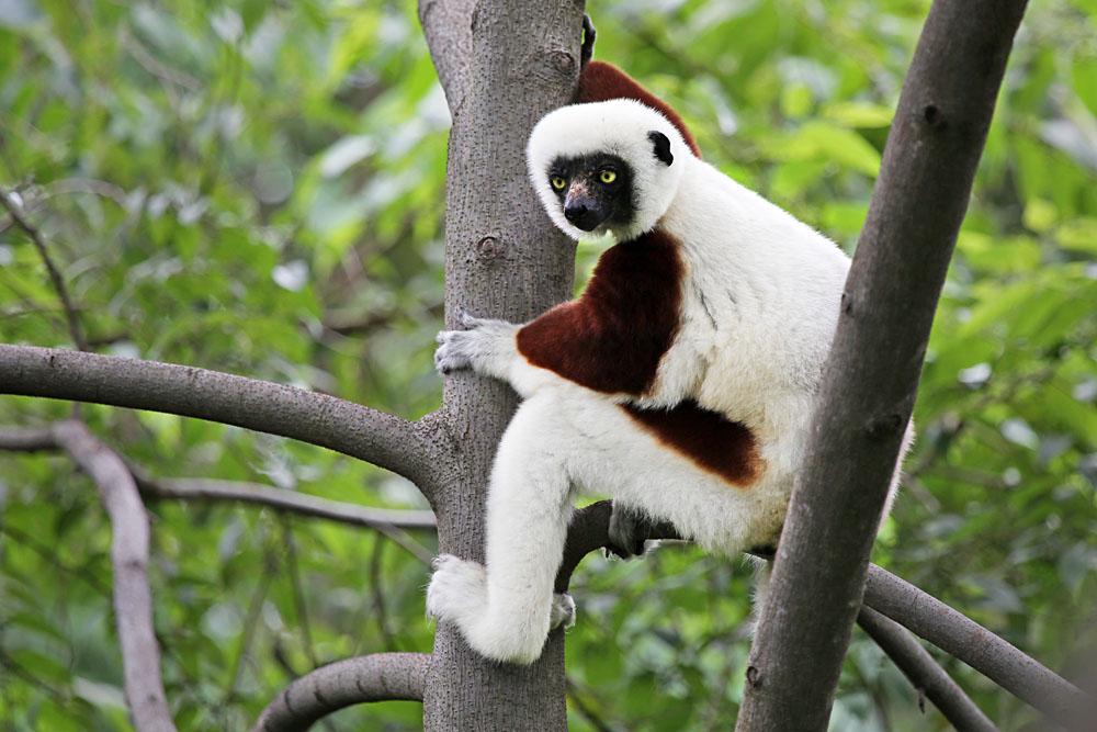 Endangered Coquerel's Sifaka Lemur, Madagascar