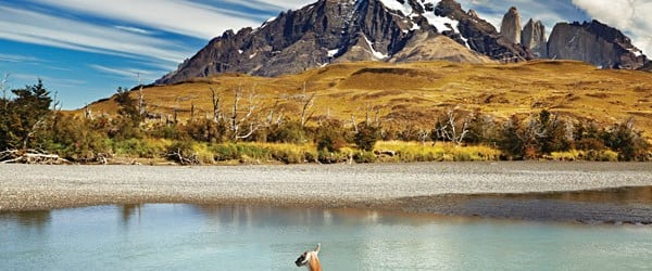 Guanaco crossing the river in Torres del Paine National Park, Chile
