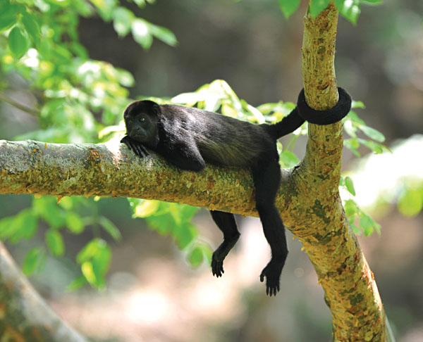 Howler Monkey in tree, Costa Rica