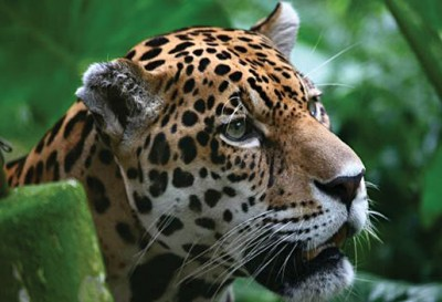 Jaguar found in the Amazon