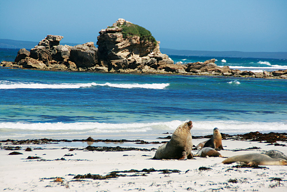 Kangaroo Island Seals, Australia