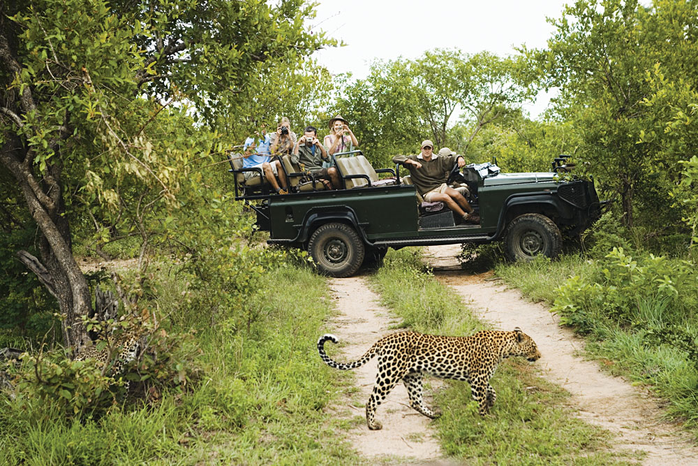 Leopard Crossing Road with Tourists in Jeep, Kruger National Park
