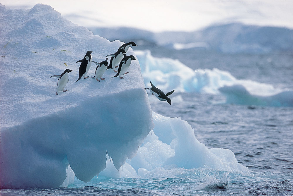 Penguins diving into the sea
