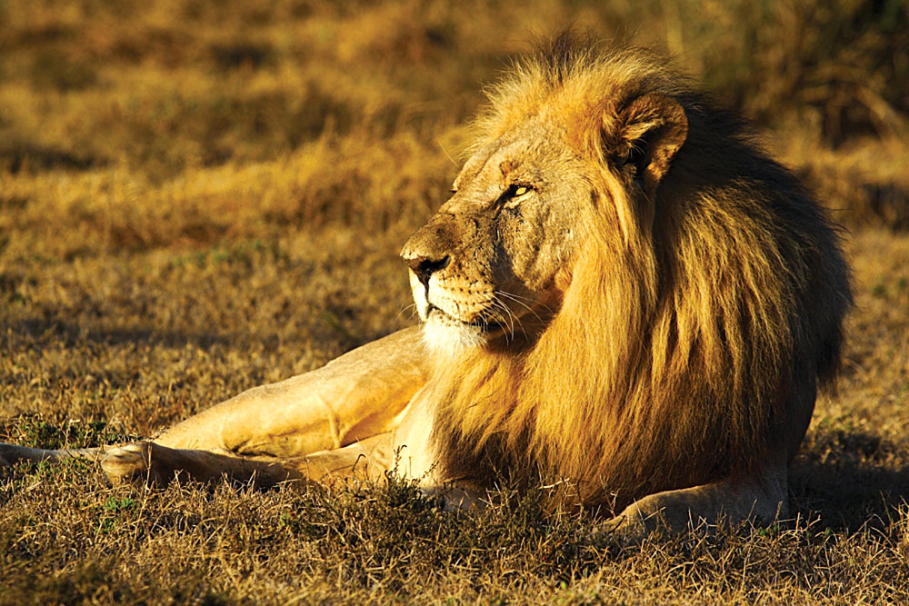 Shamwari Game Reserve Lion, South Africa