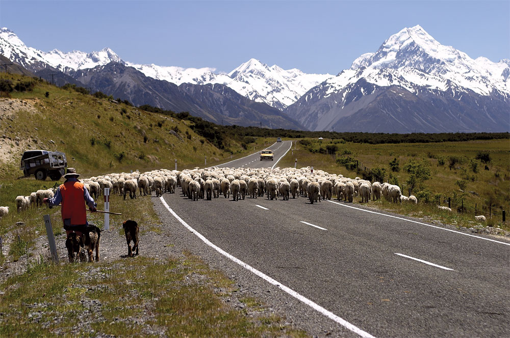 Sheep Mustering - Mount Cook, New Zealand