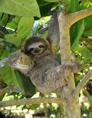 Sloth, three toe juvenile or baby in mango tree, Cahuita, Costa Rica