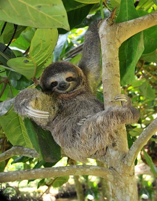 Sloth, three toe juvenile or baby in mango tree, Cahuita, Costa Rica