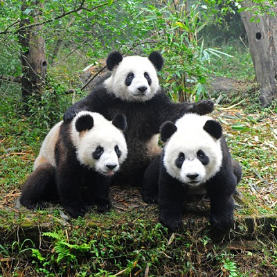 Three Pandas Posing, Chengdu, China