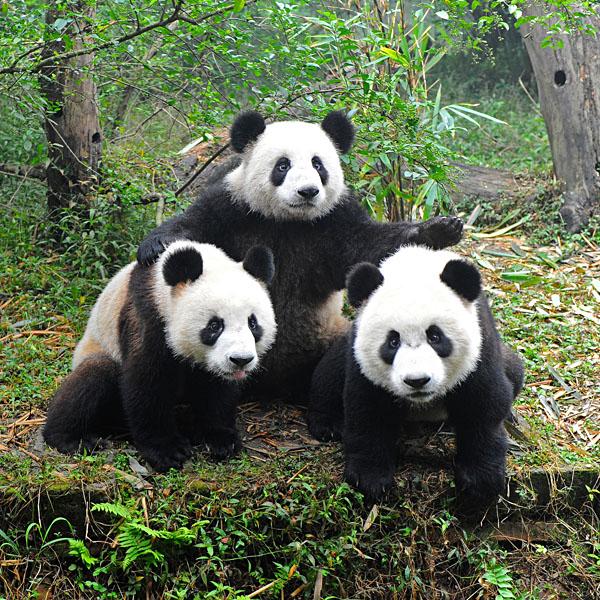 Three pandas posing, Chengdu