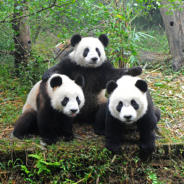 Three pandas posing, Chengdu