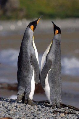 Two Emperor Penguins, Antarctica