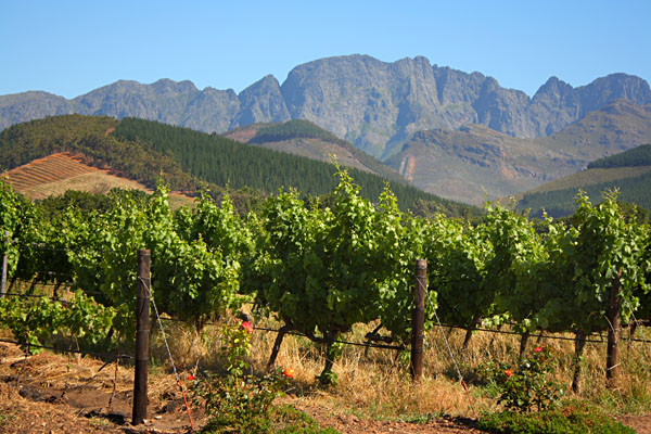 Vineyard in Montague, off Route 62, South Africa