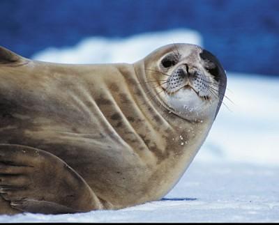 Weddel Seal Stare, Antarctica