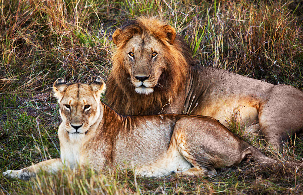 Male and Female Lion in the Serengeti, Tanzania